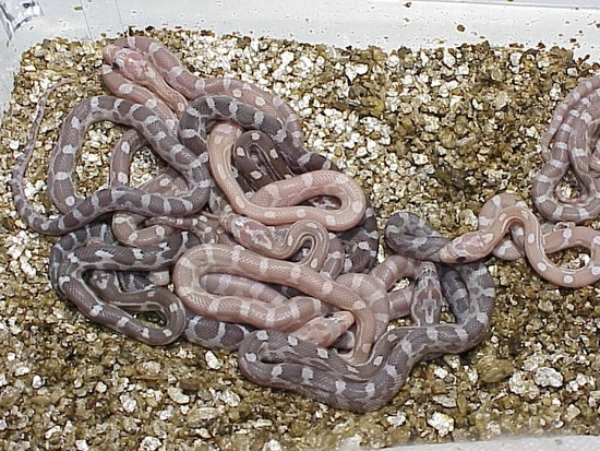 Hypomelanistic Lavender (84)