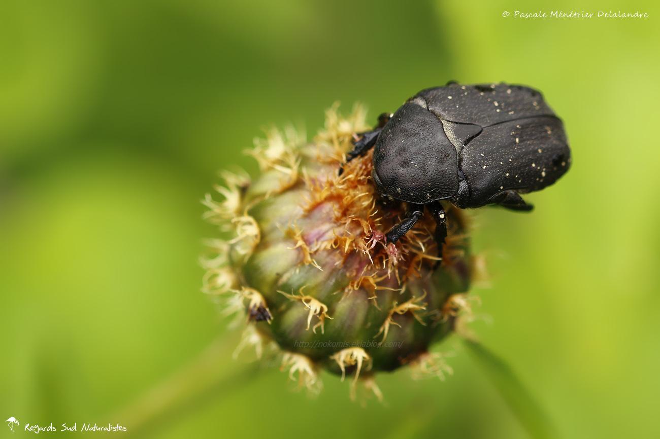 Cétoine noire - Protaecia morio