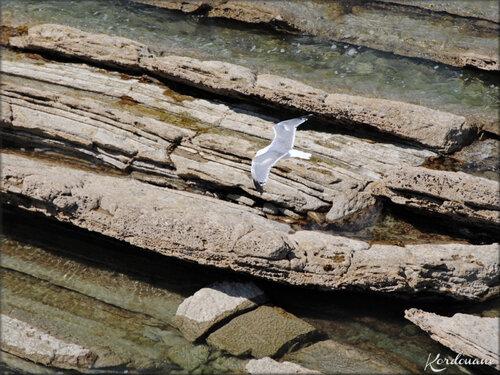 Photo goélands cendrés de la corniche d'Urrugne