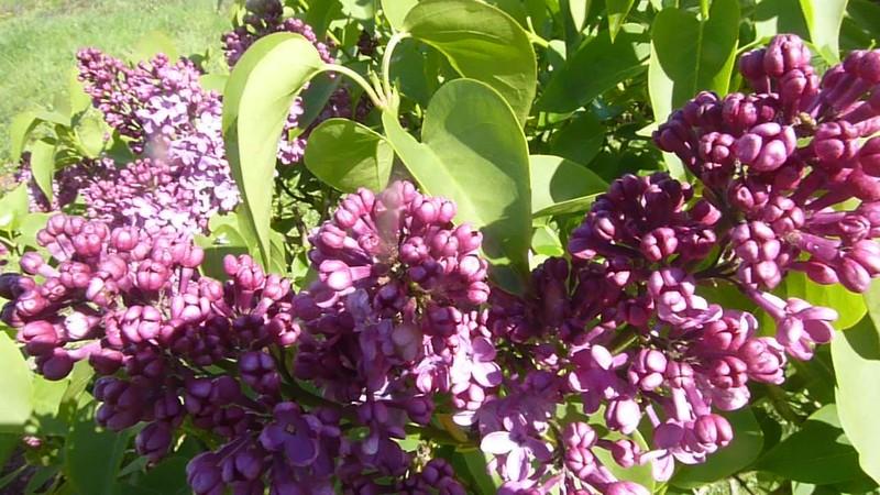 "Un peu désuet mais si odorant ""le lilas"" ..."