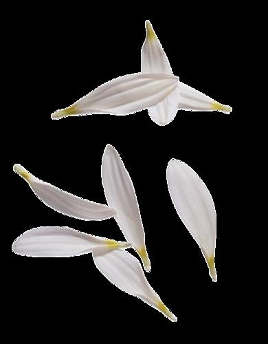 Pétales de Fleurs Série 2