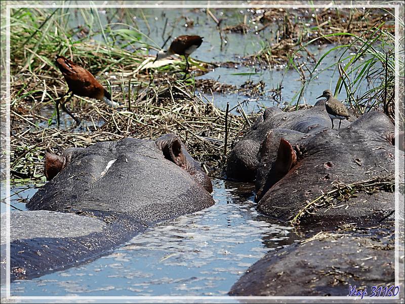 Bain de boue pour les hippopotames avec les profiteurs de l'aubaine : les Jacanas dorés et les Chevaliers Guignettes - Safari nautique - Parc National de Chobe - Botswana