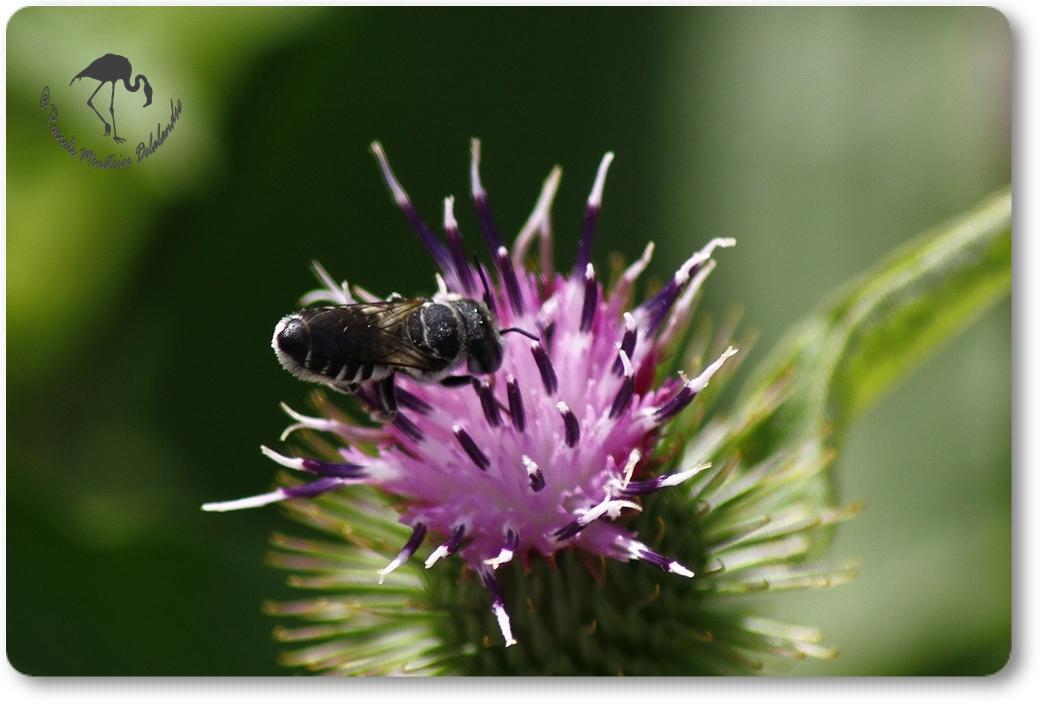 Megachile-apicalis ?