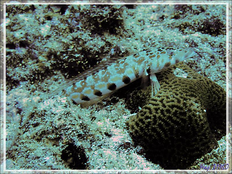 Pintade à taches noires, Parapercis à taches noires, Thousand-spot grubfish, Black dotted sand perch (Parapercis millepunctata) - Moofushi - Atoll d'Ari - Maldives