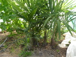 Trachycarpus fortunei dans la serre