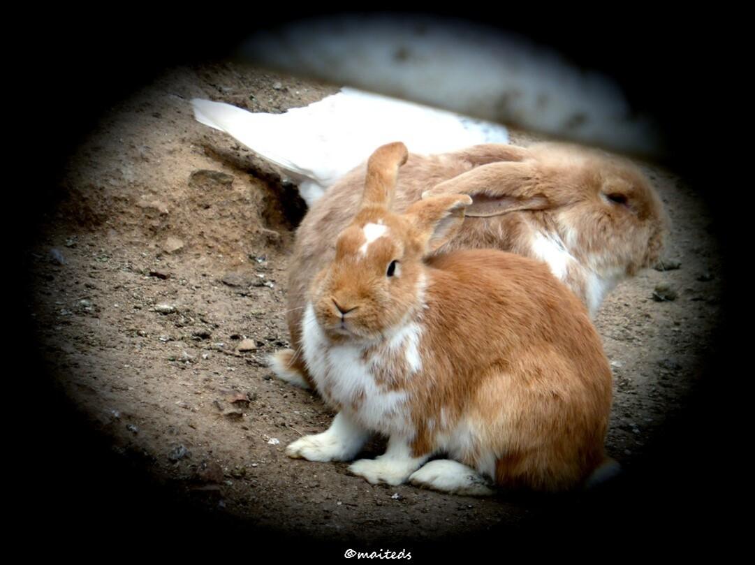 Passage par la basse-cour - les lapins