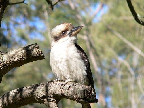 Le  Kookaburra rieur australien