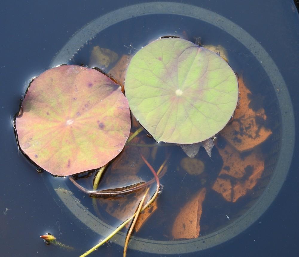 Mes plantules de lotus 2 mois plus tard...