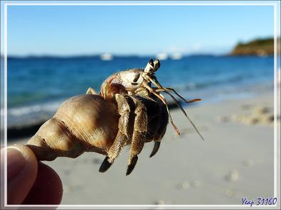Pagure (Bernard-l'hermite) - Nosy Tsarabanjina - Archipel Mitsio - Madagascar
