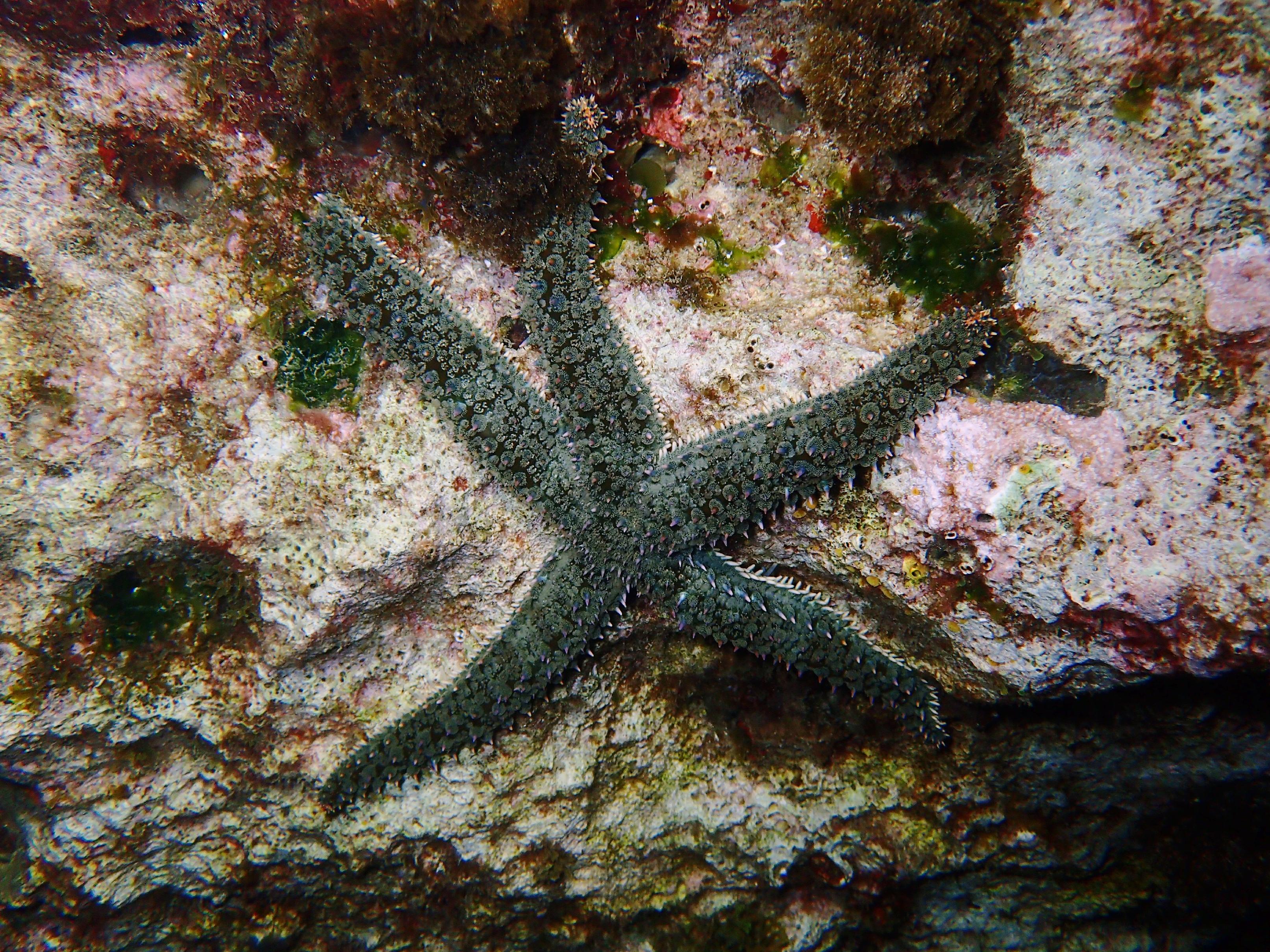 étoile de mer glaciaire
