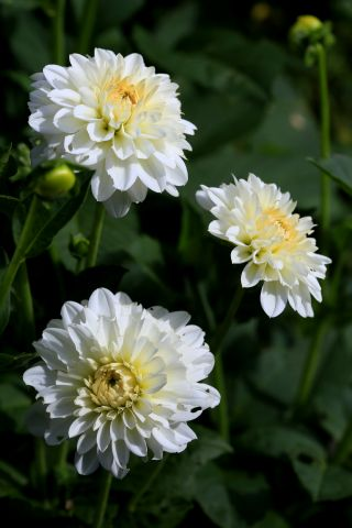 Dahlias : Snow Cap