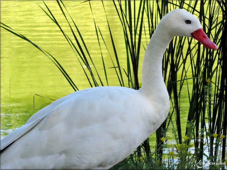 Photo de cygne coscoroba