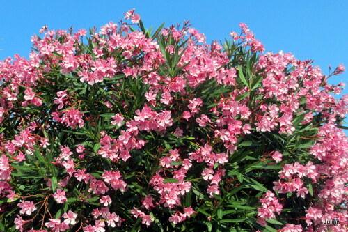 Laurier rose : des fleurs !