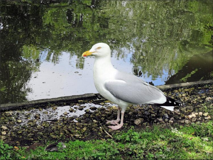 Photo de Goéland cendré - Marais aux Oiseaux