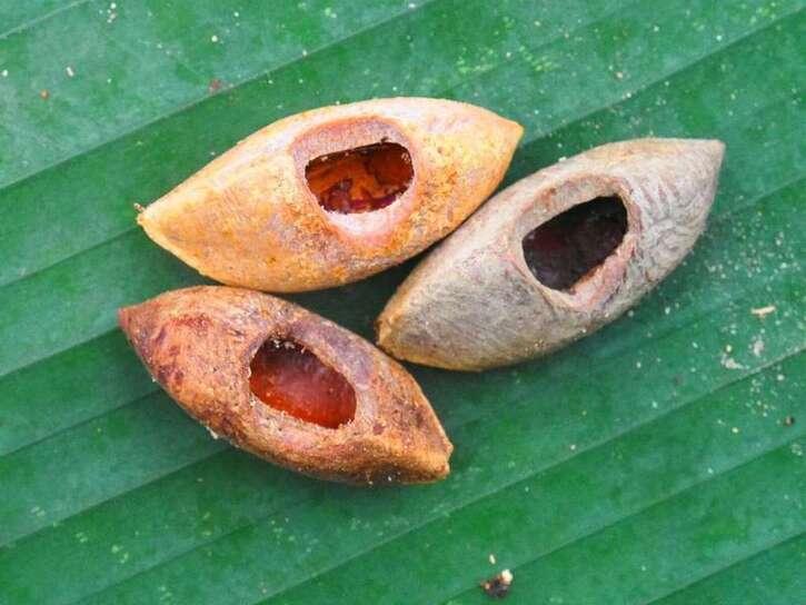 Mammifères 3:  Un rat géant découvert aux îles Salomon