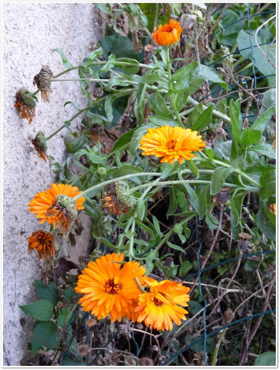 Encore des soucis (fleurs)