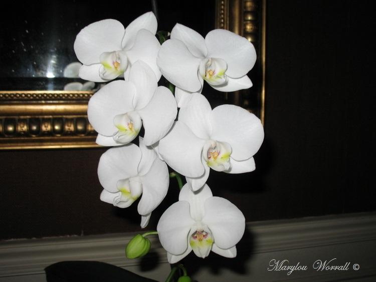 Encore mon orchidée blanche