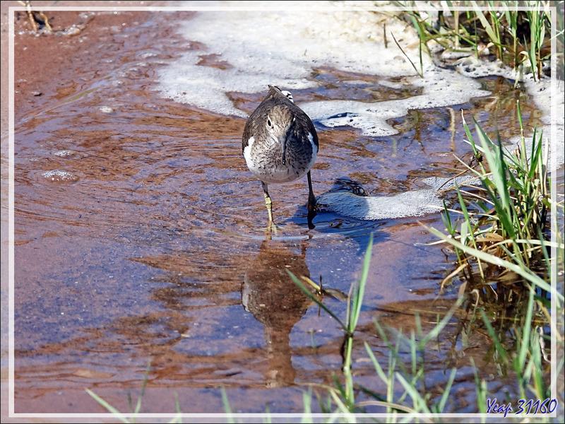 Chevalier guignette, Common Sandpiper (Actitis hypoleucos) - Safari nautique - Parc National de Chobe - Botswana