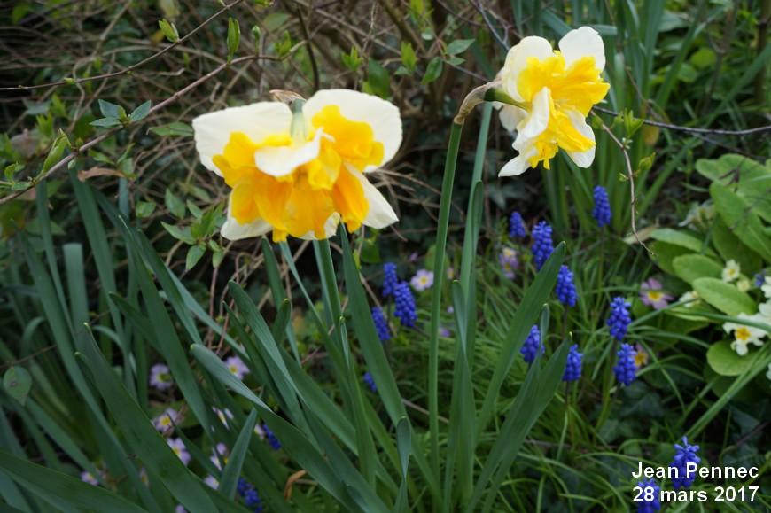 Narcisse Orchidée «Mondragon»