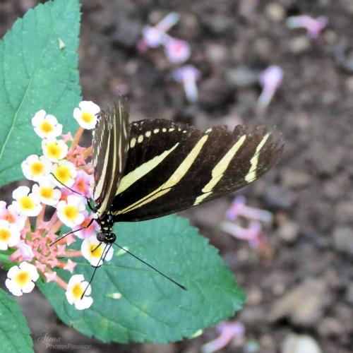 Papillon zebre( heliconius charitonius)