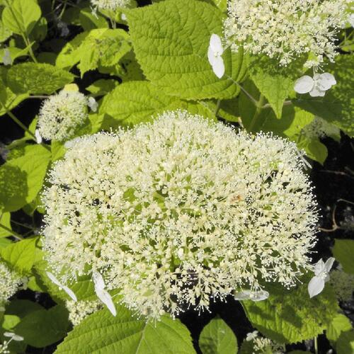 HYDRANGEA arborescens 'White Dome' Hortensia de Virginie image 1