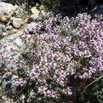Thym-vulgaire-ou-Farigoule--Thymus-vulgaris-Tuchan Avril 2014