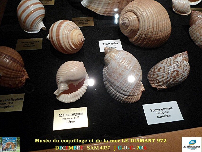 Le monde des coquillages de mer   3/5  1/    LE DIAMANT MARTINIQUE       D    13/04/2016
