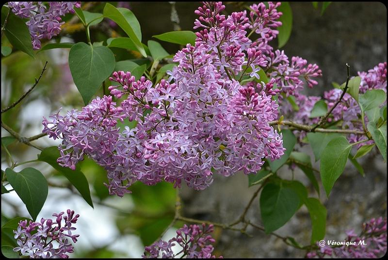 Rambouillet : Le lilas