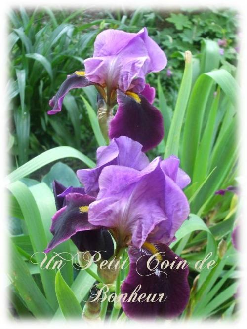 iris mauve