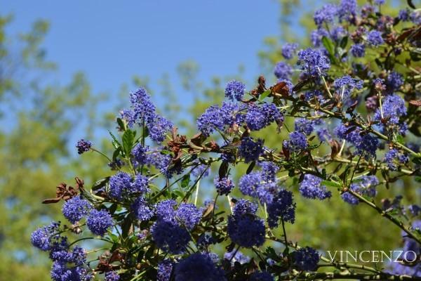 fleurs en bleux