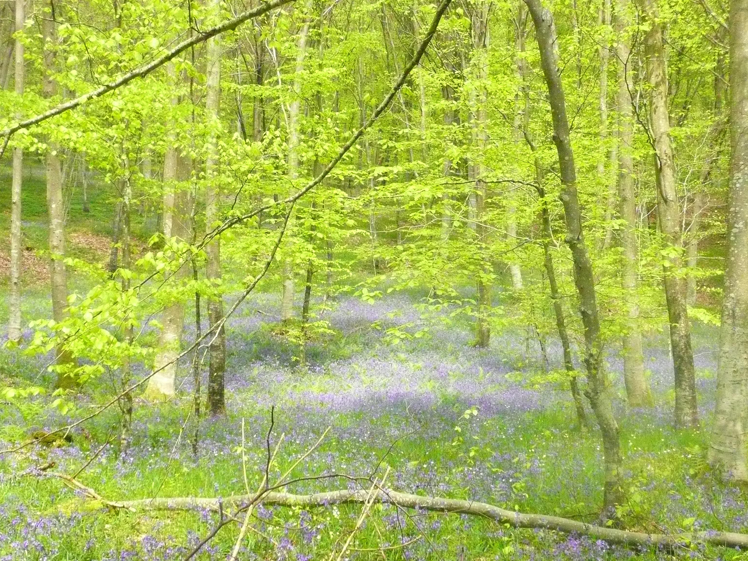 jacynthes sauvages fleuries en sous bois
