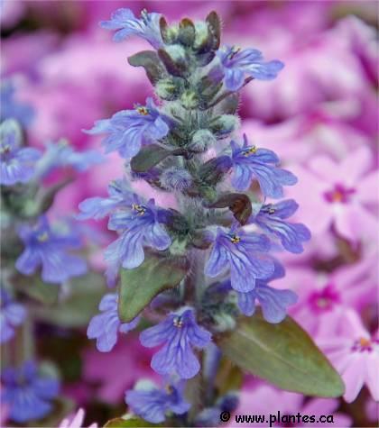 Photo des fleurs de Bugle rampant - Ajuga reptans