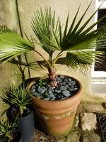 Washingtonia filifera n°1 - années 2011 à 2014