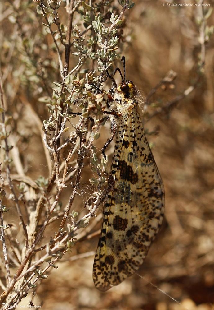 Fourmilion Fausse Libellule - Palpares libelluloides