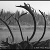 Bois de Caribous sur la Porcupine