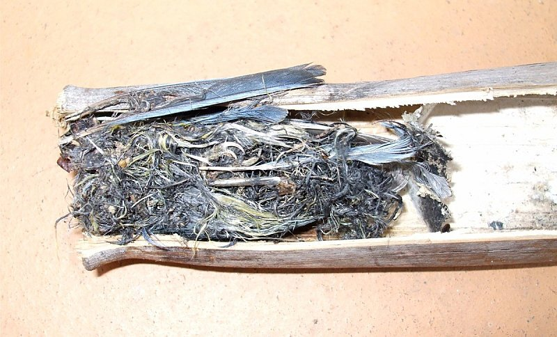 cadavre-mesange-bambou