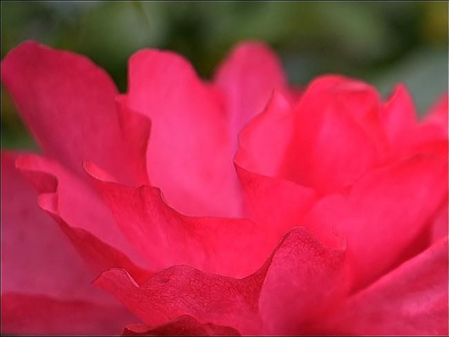 Les premières roses de l'année