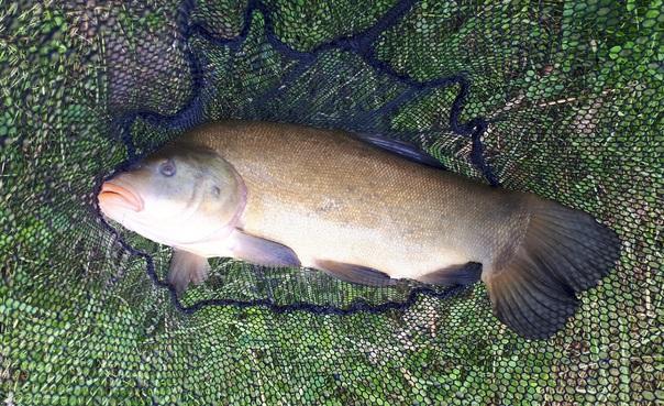 Pêche au coup à l'étang du Châpitre - Soing-en-sologne -Tanche