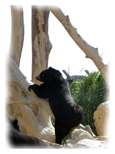 Ours grimpant sur une construction en bois