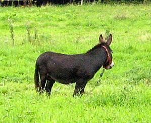 L'âne de l'Odet - Photo L'Ours Castor
