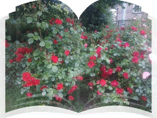 La vie d'une rose Poème
