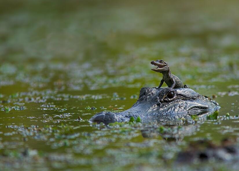 Bébé Crocodile Et Maman