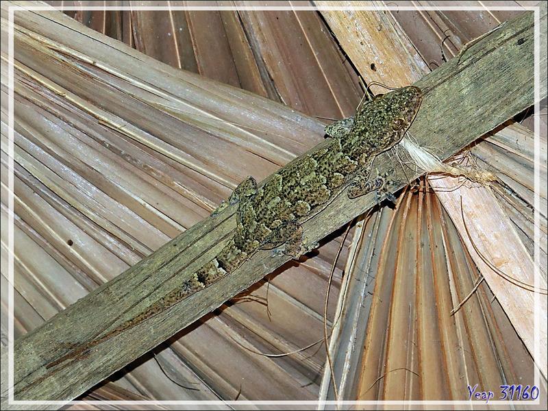 Gecko des maisons, House gecko (Hemidactylus sp.) - Nosy Be - Madagascar