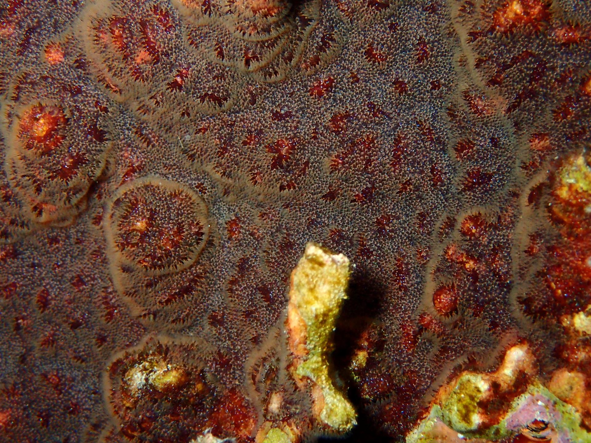 Schizoporella-brun