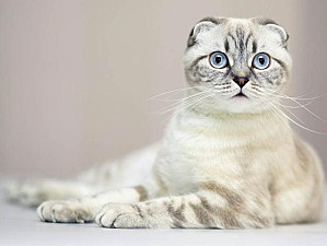 scottish-fold F4