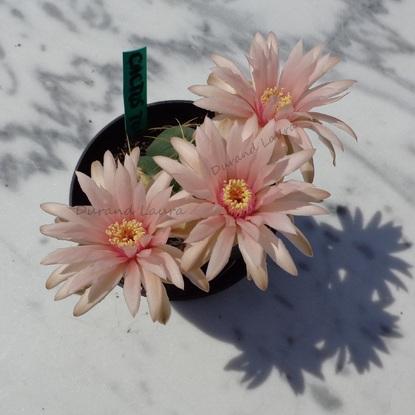 Gymnocalycium Mihanovichii Horstii - Les Fleurs