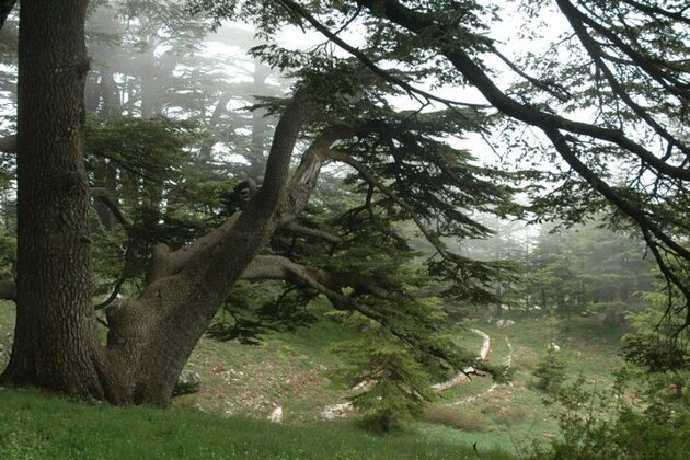 Les forêts de cèdre, Liban