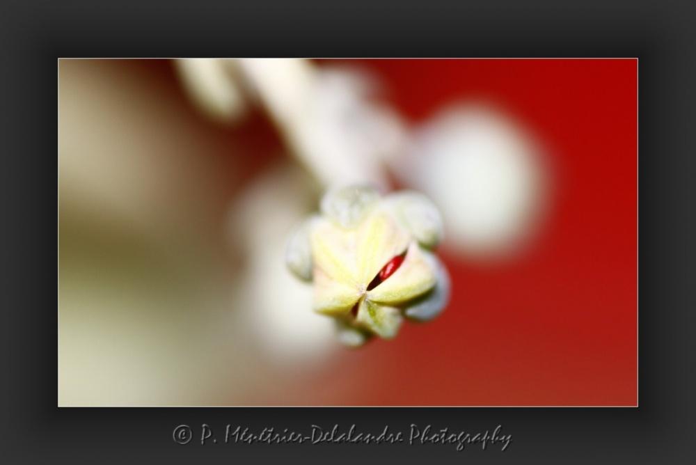 Naissance de fleurs d'une plante grasse...