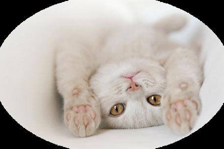 Tubes chats - série 06 Les chats blancs