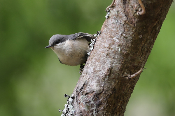 Pygmy Nuthatch - Lily Pond
